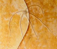 Geocoma carinata GOLDFUSS