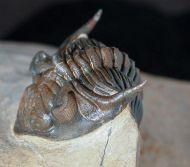 Metacanthina maderensis Morzardec 2001
