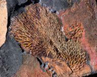 Chasmatopora cf hypnoides (Sharpe, 1853)