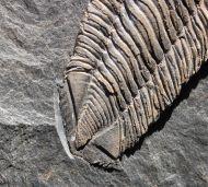 Salterocoryphe salteri (ROUAULT 1851)