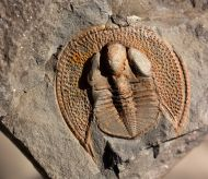 Declivolithus alfredi (´elízko 1906)