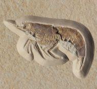 Eystaettia intermedius (OPPEL, 1839)