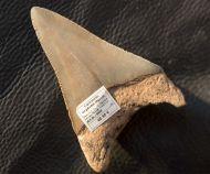 Carcharocles megalodon (Agassiz, 1843)