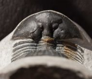 Thysanopeltis speciosa HAWLE & CORDA, 1847