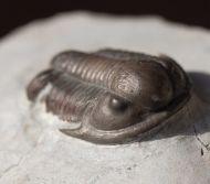 Undescribed Proetid Trilobite - Jorf