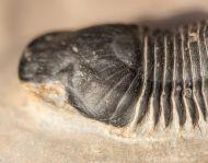Paralejurus  spatuliformis SCHRAUT & FEIST 2004