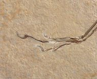 Archaeopteryx lithographica Meyer, 1861