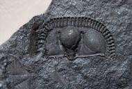 Trinucleus fimbriatus MURCHISON, 1839