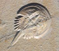 Mecochirus longimanatus SCHLOTHEIM, 1820