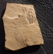 Nephrolenellus geniculatus Palmer, 1998