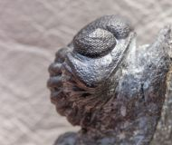 Eldredgeops rana milleri (STEWART, 1927)