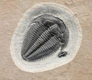 Amecephalus idahoense (Resser, 1939)