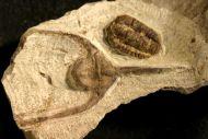 Kerfornella sp.  Amphyx  cf.  priscus  THORAL, 1935