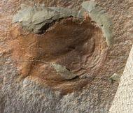 Forfexicaris sp.
