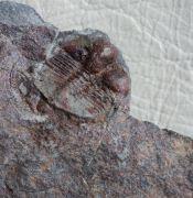 Salterolithus caractaci (MURCHISON 1839)