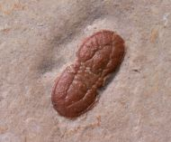 Ptychagnostus germanus OPIK, 1979