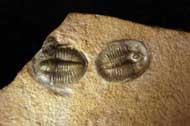 Cedaria minor Double