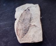 Allophylus flexifolia (Lesquereux)