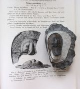 Harpes aff macrocephalus (GOLDFUSS 1839)