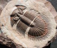 Tysanopeltis sp.