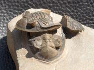 Hollardops boudibensis MORZADEC, 2001
