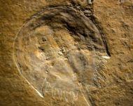 Mesolimulus walchi DESMAREST 1822