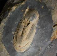 Ectillaenus giganteus (BURMEISTER 1843)