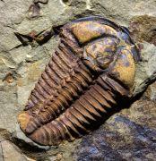 Litavkaspis rejkovicensis FATKA et al., 1987 &  Conocoryphe cirina (Barrande, 1846)