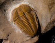 Modocia brevispina (Robison, 1964)