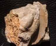 Lioharpes venulosus (Hawle & Corda 1847)