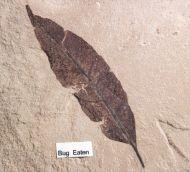 Allophylus flexifolia (Lesquereux) & Sackenia cf arcuata & ?Asarcomyia cadaver