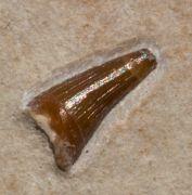 Steneosaurus sp.