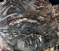 Stromatolith ?Aspetia aff. digitata a (Grey 1984)