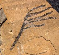 Walchia piniformis Sternberg, 1820