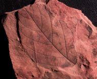 Fraxinus eocenica Lesquereux, 1878