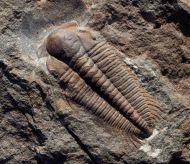 Paradoxides gracilis (BOECK, 1827)