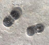 Peronopsis segmenta ROBISON, 1964