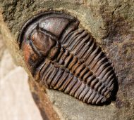Conocoryphe sulzeri (Schlotheim 1823)