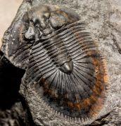 Thysanopeltis speciosa Hawle Corda, 1847