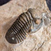 Gerastos tuberculatus marocensis  CHATTERTON et. al. 2006