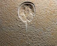 Hol Hold : Mesolimulus walchi DESMAREST 1822