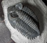 Coltraneia oufatenesis MORZARDEC 2001