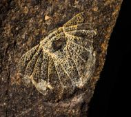 Dicranopeltis scabra propinqua (BARRANDE, 1846)