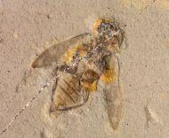 Melanophila cf cockerellae Wickham, 1912