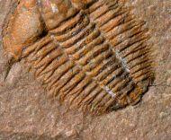 Alokistocaridae n.sp.