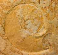 Lingulaticeras solenoides QUENSTEDT 1849