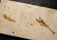 Eurypholis boissieri (Pictet, 1831) & Ctenodentelops striatus Forey et al. 2003