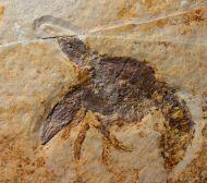 Pseudastacus pustulosus MüNSTER, 1839
