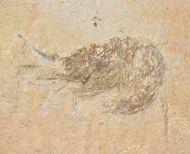 Nematonotus bottae (Pictet and Humbert 1866)