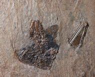 Palaeochiropteryx tupaiodon Revilliod, 1917